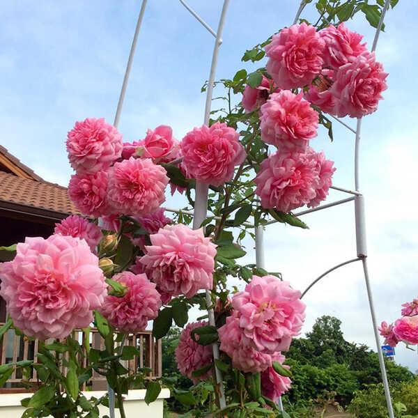 Hình ảnh: Hoa hồng leo